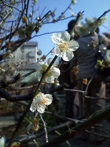 yushima_ume.jpg